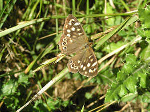 Speckled Wood Moth
