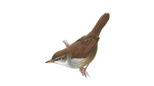 the Ceti's Warbler